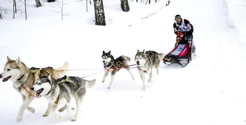 国外狗拉雪橇比赛 呆萌汪星人场上飞奔(组图)
