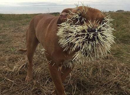 加拿大1狗狗与豪猪打架被扎成刺猬(组图)