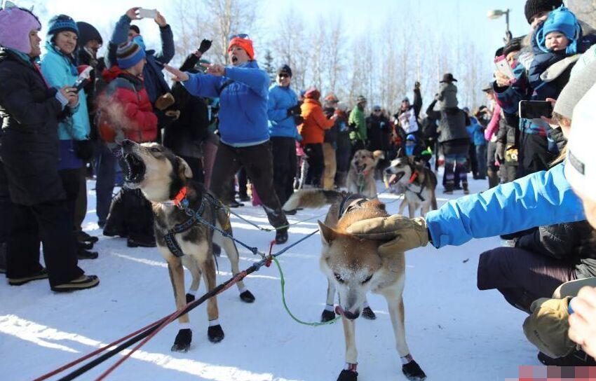 美举办雪橇犬比赛 赛程全长达1688公里9天能完成